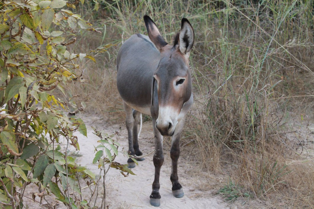Gouraf, notre âne communautaire